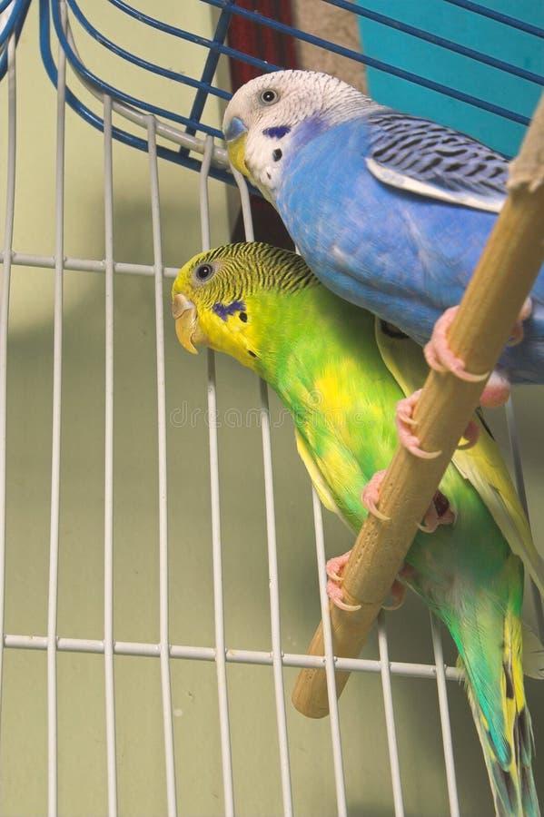 Parakeets immagini stock libere da diritti
