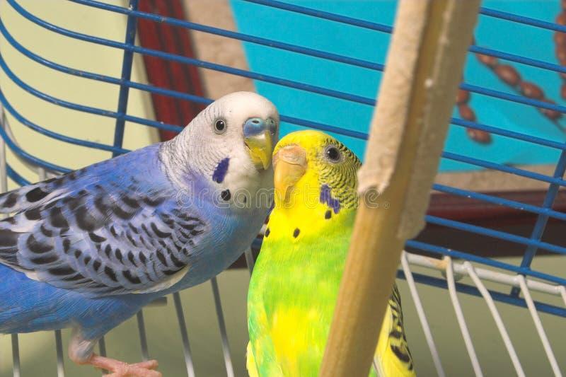 Parakeets stockfotos