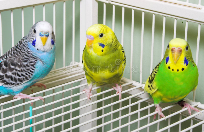 Parakeets imagens de stock royalty free