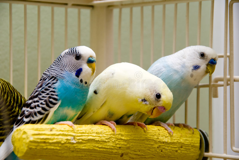 Parakeets imagens de stock royalty free