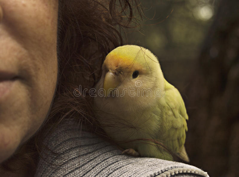 parakeets photographie stock