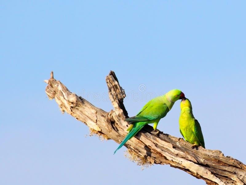 Parakeets anellati della Rosa fotografia stock libera da diritti