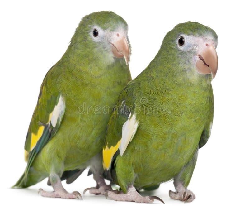 Parakeets Bianco-alati, versicolurus di Brotogeris immagine stock libera da diritti