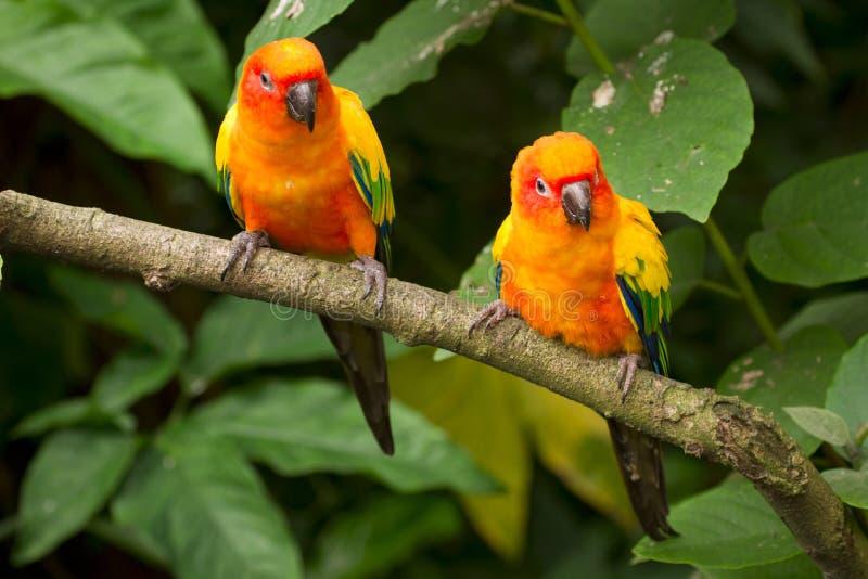 Parakeets de Sun fotografía de archivo