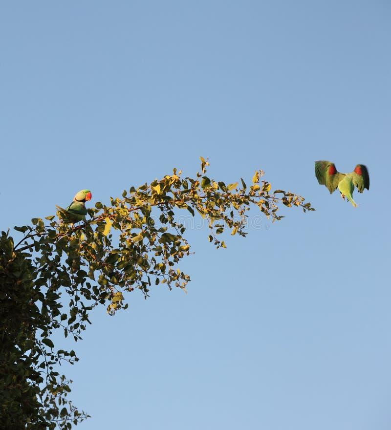 Parakeets en el salvaje imagenes de archivo