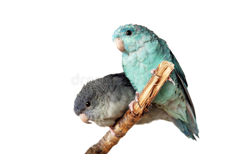 Parakeets on white stock photography
