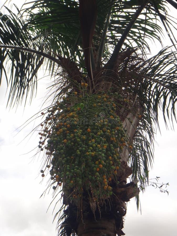 Parakiter på klungor av omogen och mogen frukt av den Syagrus romanzoffianaen royaltyfria bilder