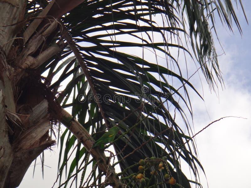 Parakiter på växten av den Syagrus romanzoffianaen arkivfoto