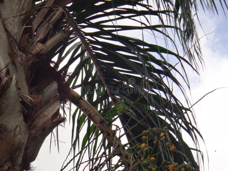 Parakiter på växten av den Syagrus romanzoffianaen arkivbild
