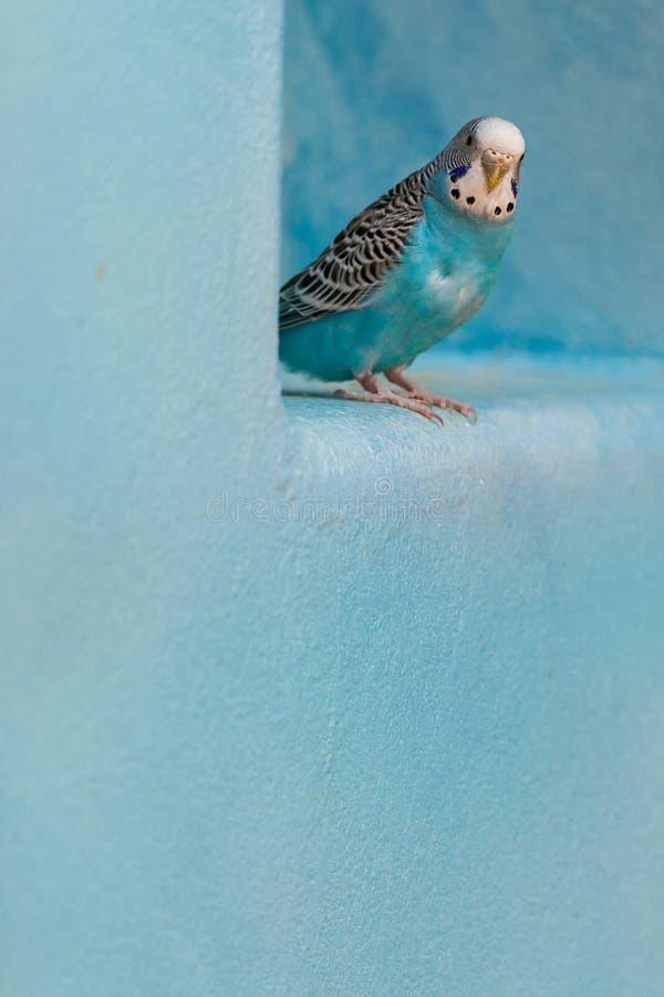 Parakiter som når en höjdpunkt runt om den blåa avsatsen royaltyfri fotografi