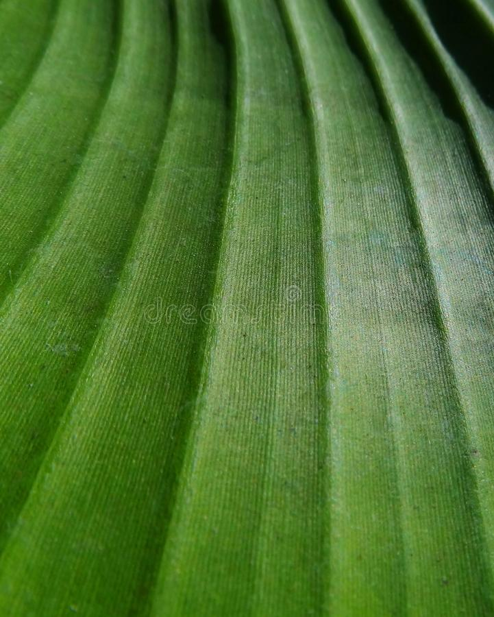Parallel leaf venation of a banana leaf royalty free stock photos