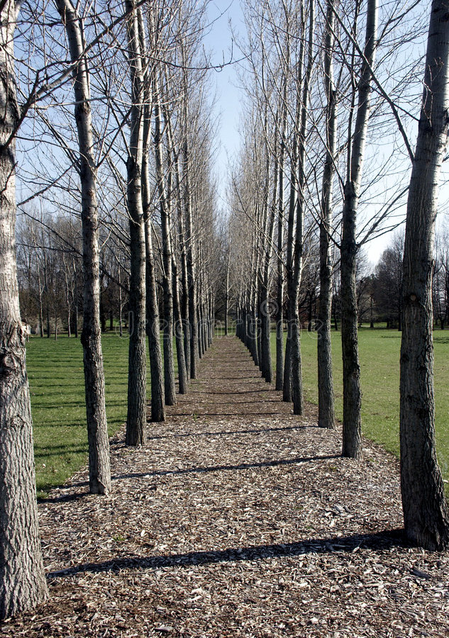 Parallel Trees. Lining chipped wood pathway royalty free stock photo