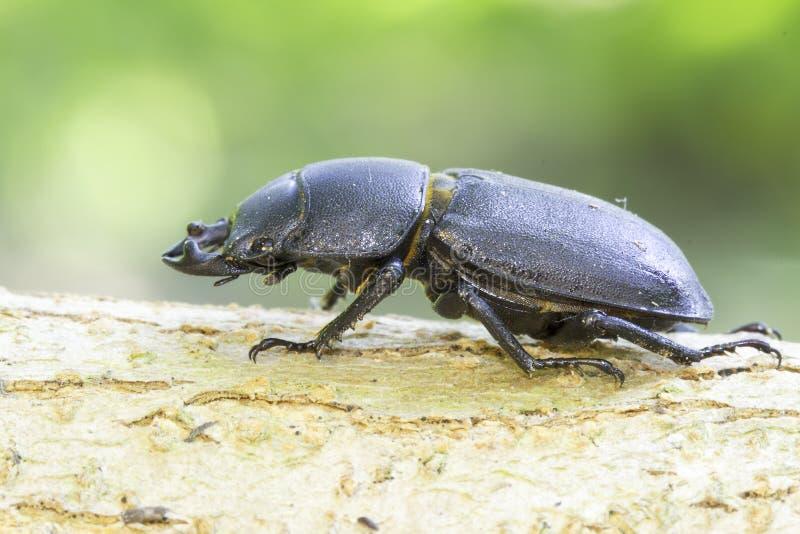 Parallelipipedus Dorcus κανθάρων/μικρότερος κάνθαρος αρσενικών ελαφιών στοκ εικόνα