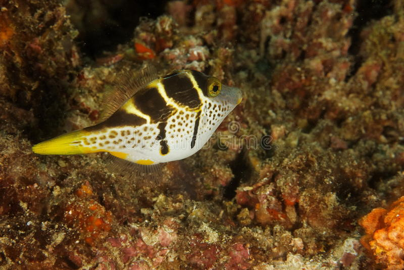 Paraluteres prionurus - Blacksaddle mimic. This underwater picture was taken off Sangalaki island, East Kalimantan, Borneo Indonesia stock images