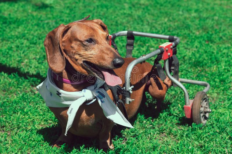 Paralyzed happy short-haired dachshund on wheelchair walking royalty free stock photos