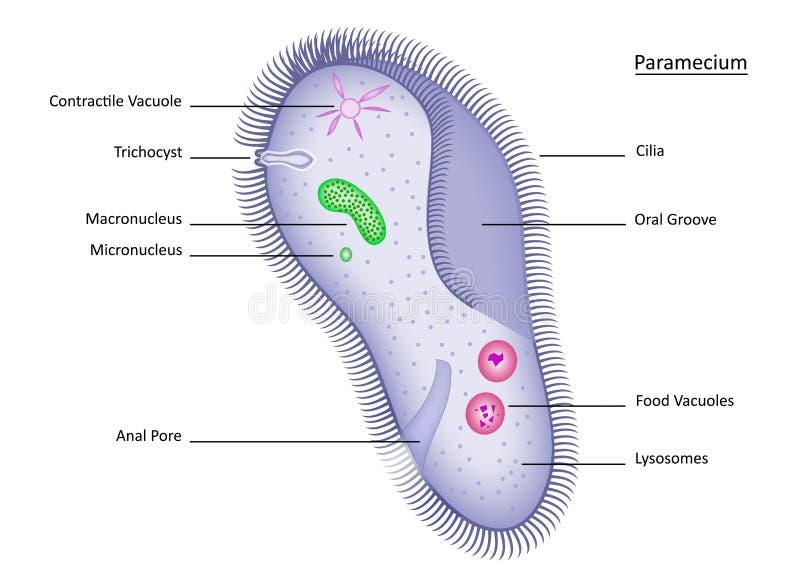 paramecium stock illustrationer