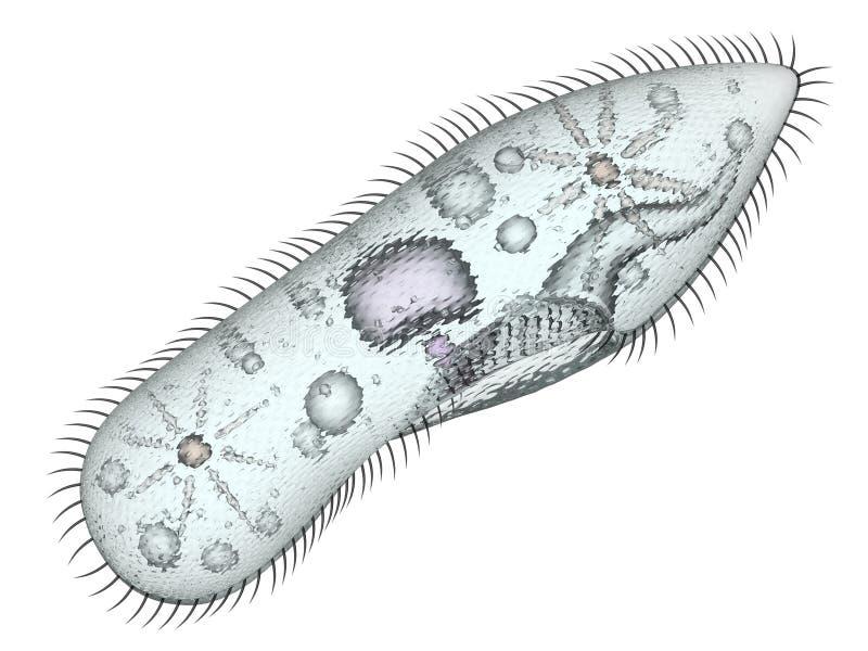 paramecium libre illustration