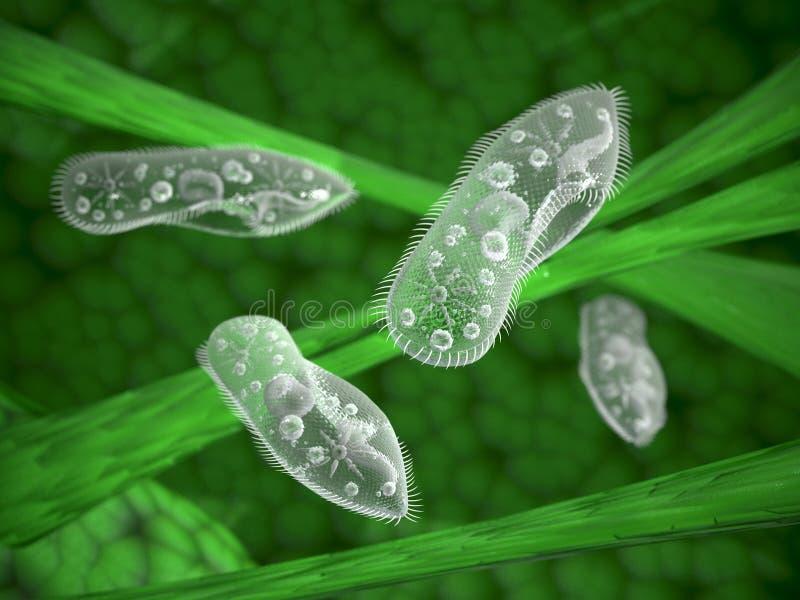 paramecium stockfotos