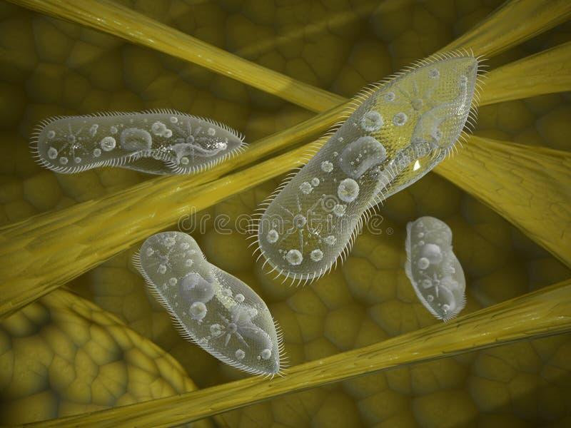 paramecium vektor illustrationer