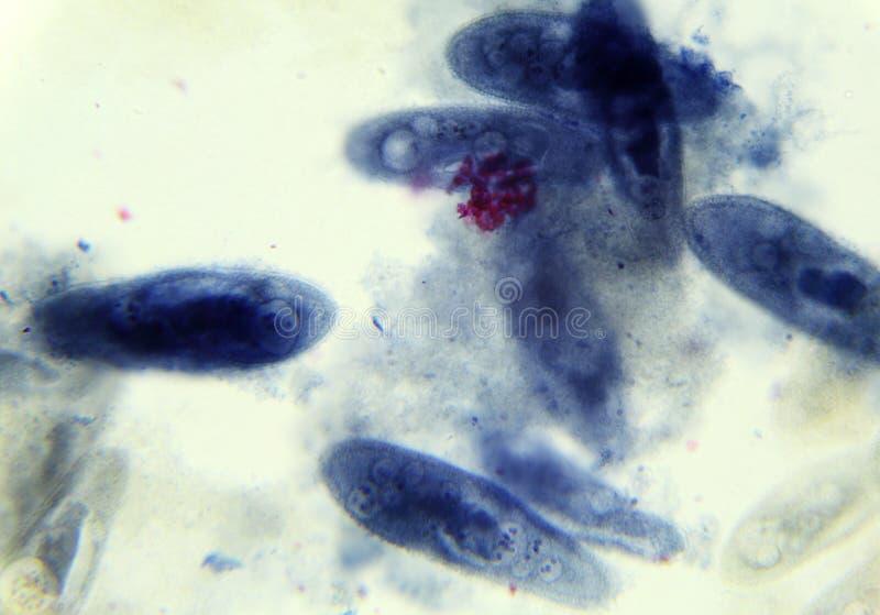 Paramecium bajo el microscopio, fondo imagenes de archivo