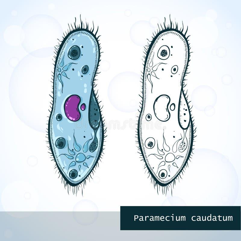 Paramecium del microorganismo en el estilo del bosquejo, estructura ilustración del vector