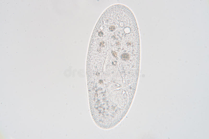 Paramecium. Is a genus of unicellular ciliated protozoa, commonly studied as a representative of the ciliate group. Paramecia are widespread in freshwater royalty free stock photo