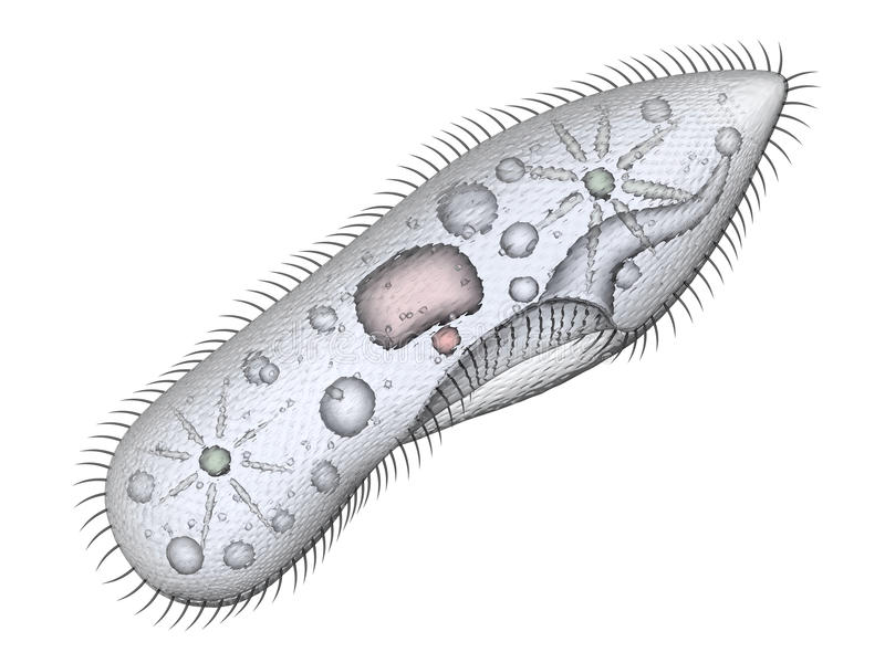 Paramecium stock illustration