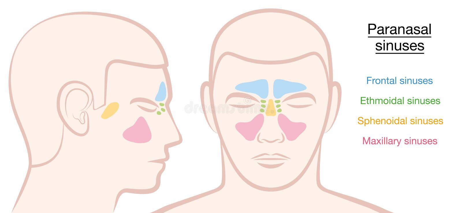 Paranasal Sinuses Male Face stock illustration