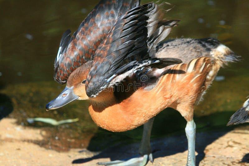 Parapluie de canard images libres de droits