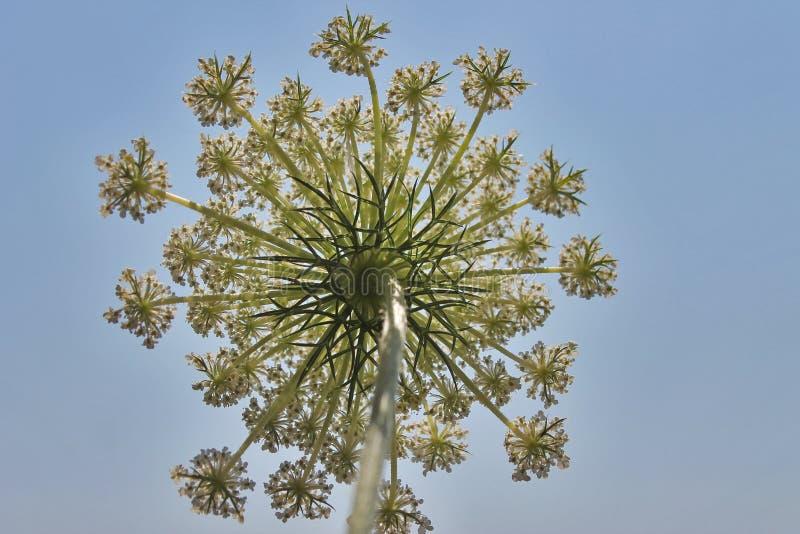 Paraply för vit blomma på blå himmel för bakgrund arkivfoton