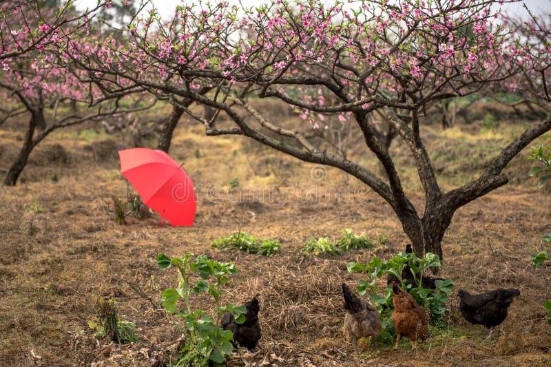 Paraplyhönor i persikafruktträdgård royaltyfri bild