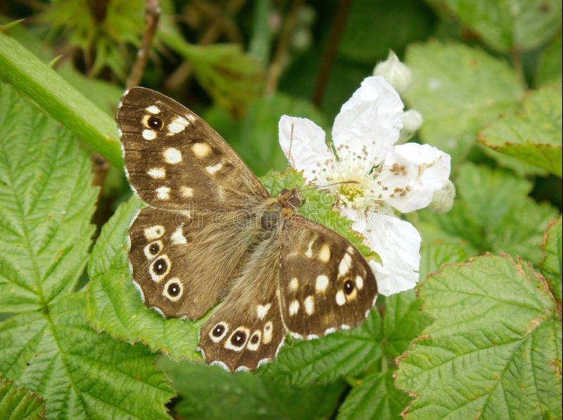 Pararge aegeria或有斑点的木蝴蝶 免版税库存图片