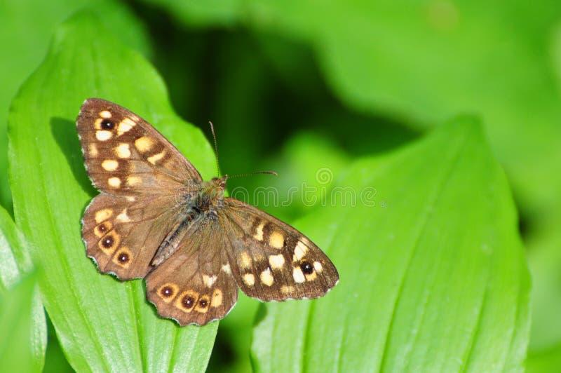 Pararge aegeria,有斑点的木蝴蝶 免版税库存图片