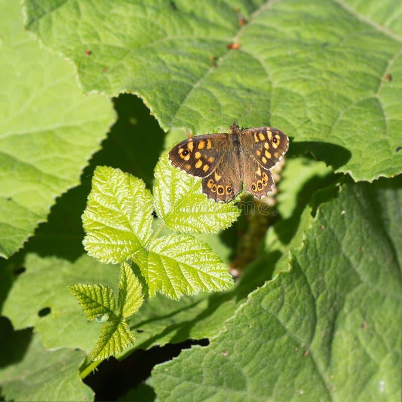 pararge aegeria,有斑点的木蝴蝶在栖所