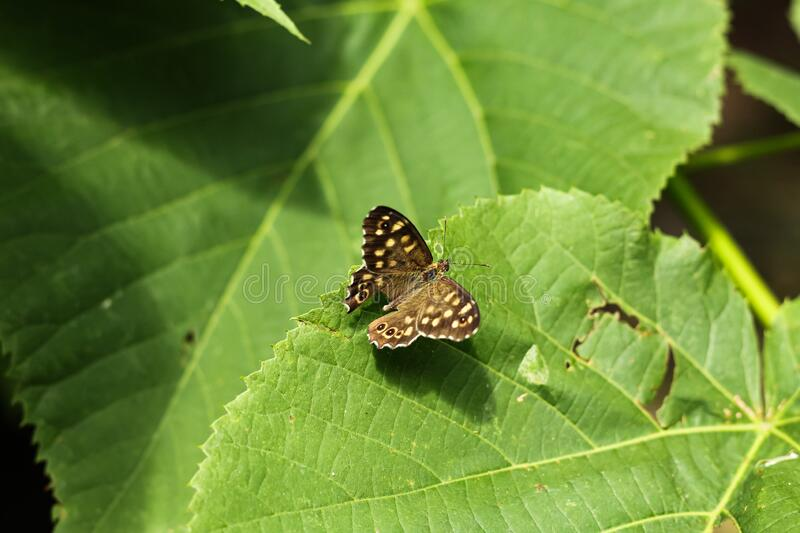 Pararge aegeria. Daytime butterfly sitting on green leaves. Pararge aegeria. Daytime brown butterfly sitting on green leaves royalty free stock photography