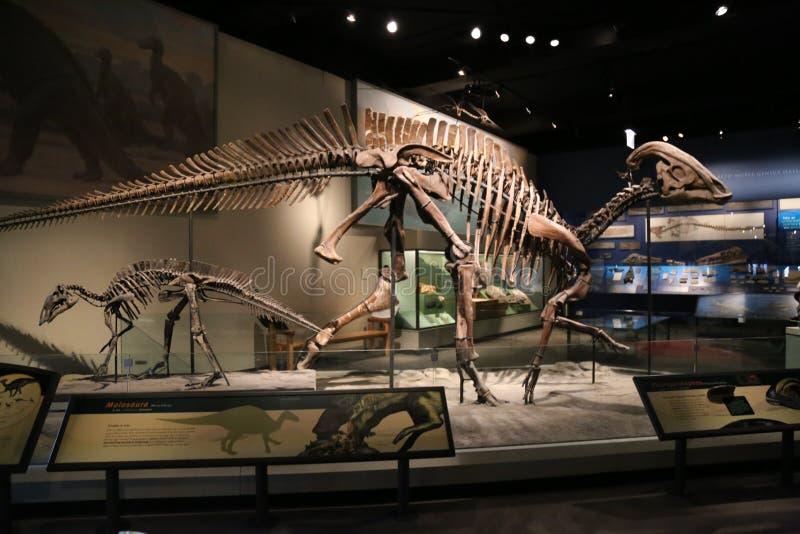 Parasaurolophus imagen de archivo