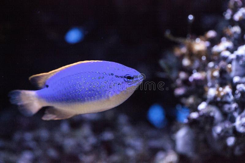 Parasema do chrysiptera do damselfish do diabo azul de Fiji fotos de stock royalty free