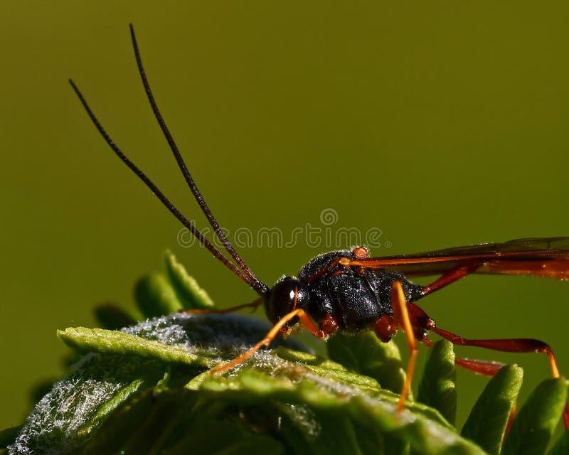 Parasitärer Wespe Ichneumonidae stockbild