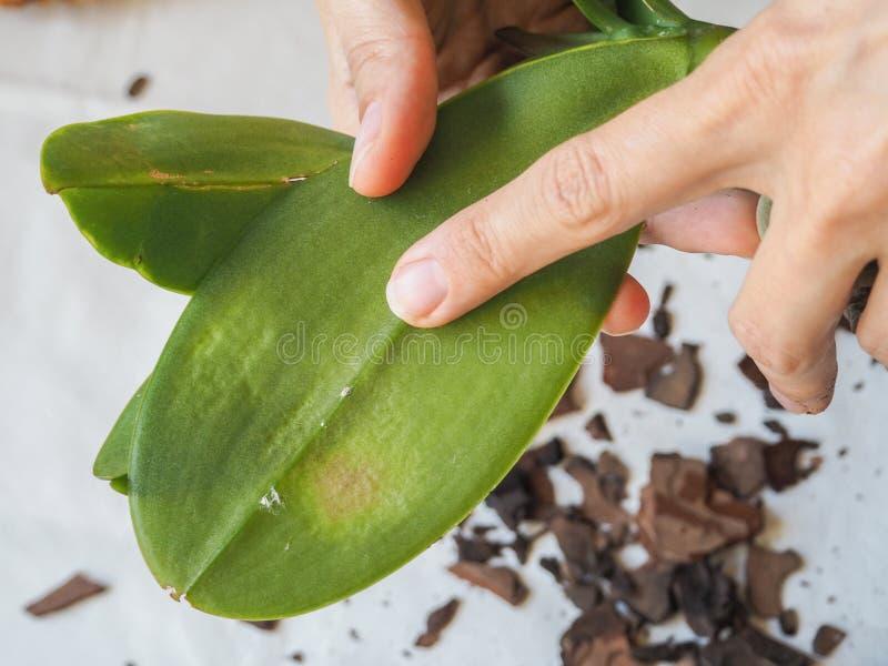Parasitäres mealybug auf Blättern von Orchideen Parasiten auf Anlagen Krankheiten von Anlagen lizenzfreie stockfotografie