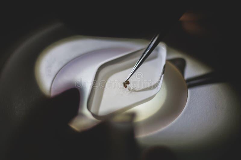 Parasit under mikroskopet - pincetten stänger sig upp sikt arkivfoton