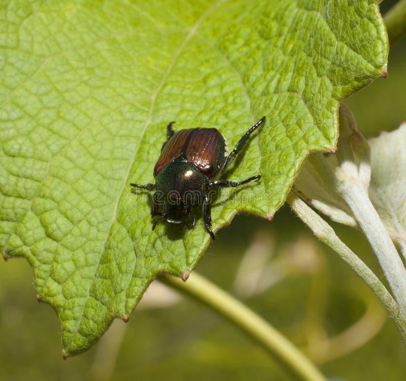 Parasite de jardin photo stock image du vigne col opt re - Parasite de la vigne ...