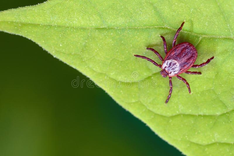 Parasite mite sitting on a green leaf. Danger of tick bite.  royalty free stock photography
