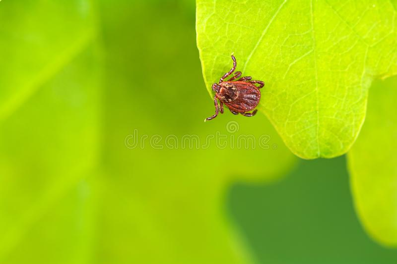 Parasite mite sitting on a green leaf. Danger of tick bite. royalty free stock image