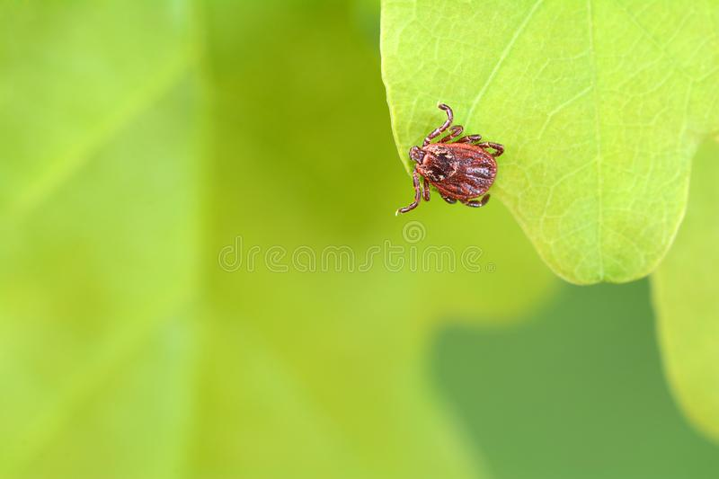 Parasite mite sitting on a green leaf. Danger of tick bite royalty free stock image