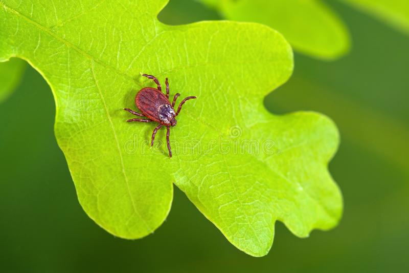 Parasite mite sitting on a green leaf. Danger of tick bite. royalty free stock photos
