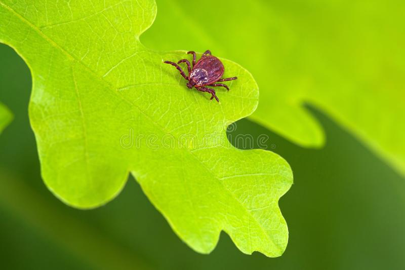 Parasite mite sitting on a green leaf. Danger of tick bite. stock photography