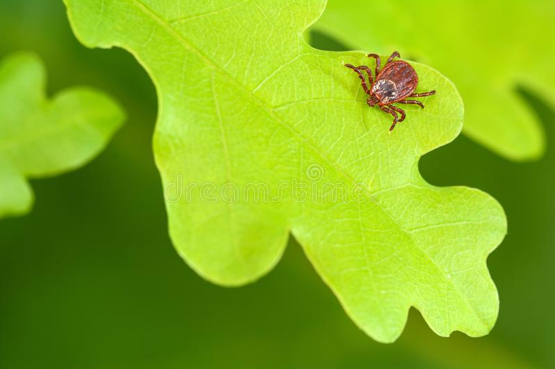 Parasite mite sitting on a green oak leaf. Danger of tick bite royalty free stock photography