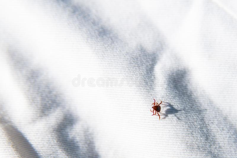 Parasite mite sitting on white surface. Danger of tick bite royalty free stock image