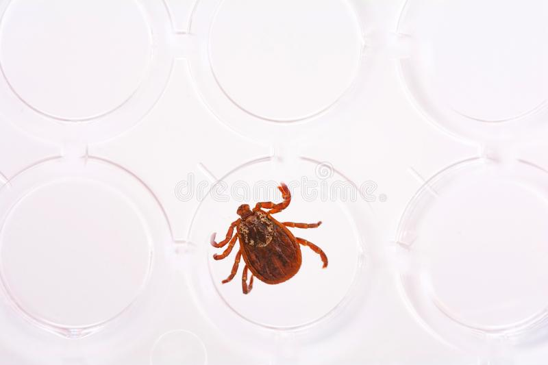 Parasite mite to pass for analysis to the laboratory. Danger of tick bite royalty free stock photo