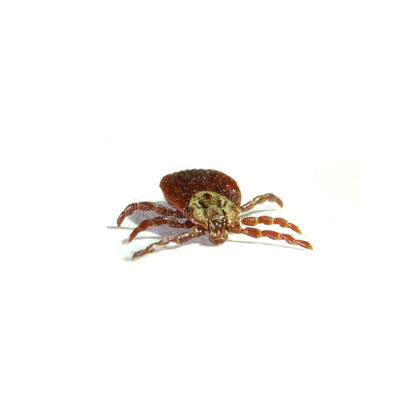 Download Parasite Tick Isolated On White Royalty Free Stock Photography - Image: 11259747